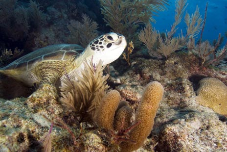 wild sea turtles in florida's coral reef state park
